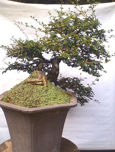 Diospyros sp kamuning bilog by leo de leon for Bonsai comprare